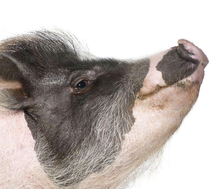 histoire-de-cochon (© 123RF)