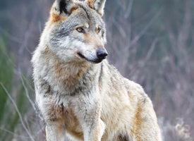 Belgique le retour du loup