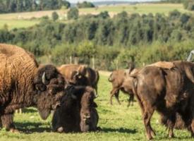 Le Ranch des bisons à Petit-Réderching : Des Grandes Plaines à la Moselle