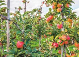 Pommiers, abricotiers, cerisiers… Faites votre marché!