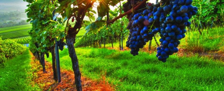 La Moselle veut aider les viticulteurs à se développer